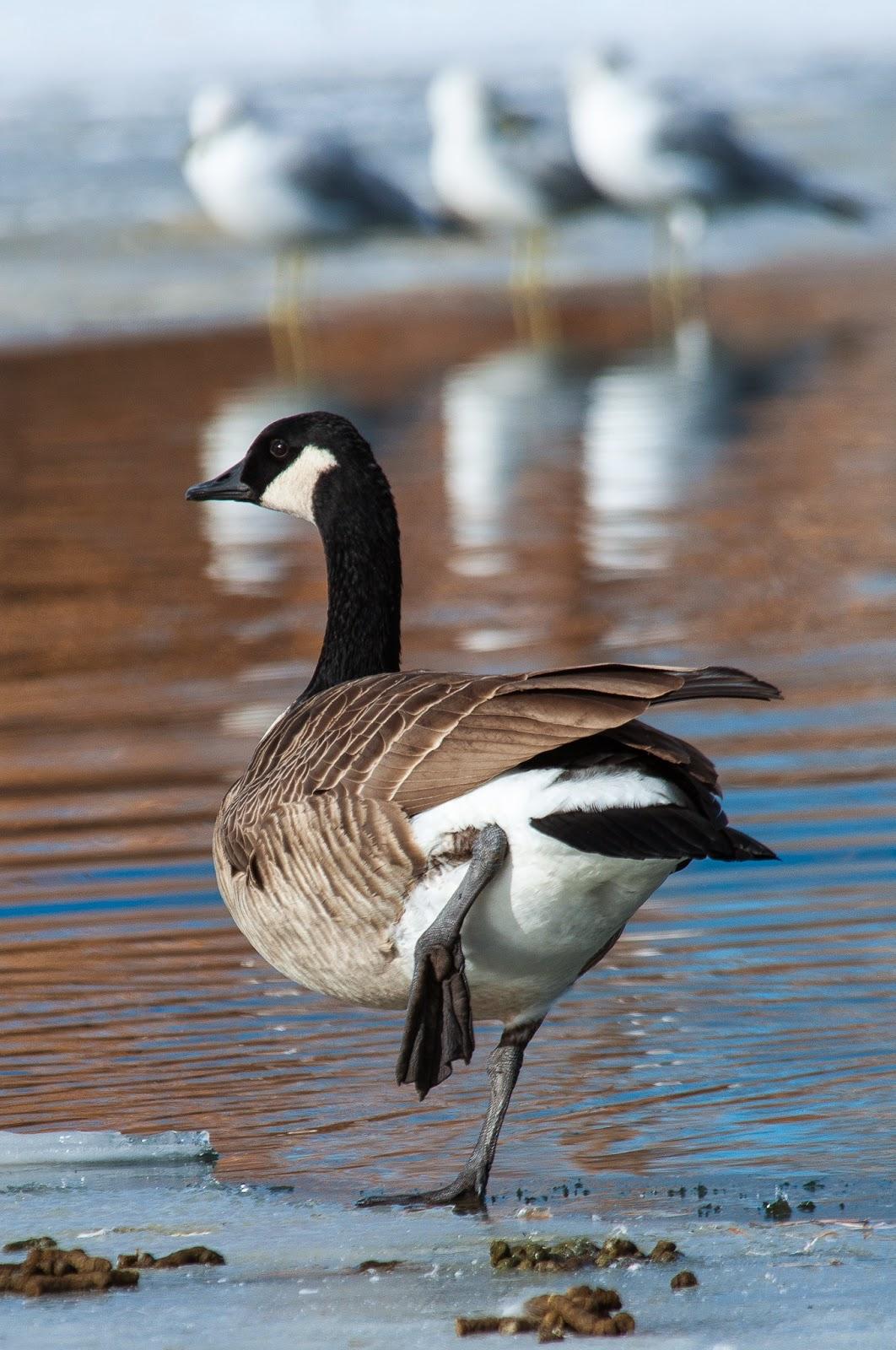 Canada Goose, Kountze Lake