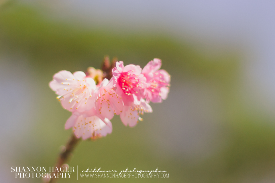 Cherry Blossoms in Okinawa by Shannon Hager Photography