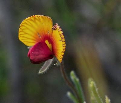 Granny Bonnets (Isotropis cuneifolia)