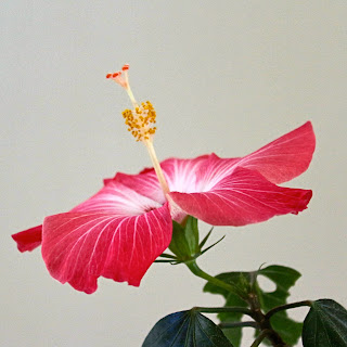 Pink hibiscus