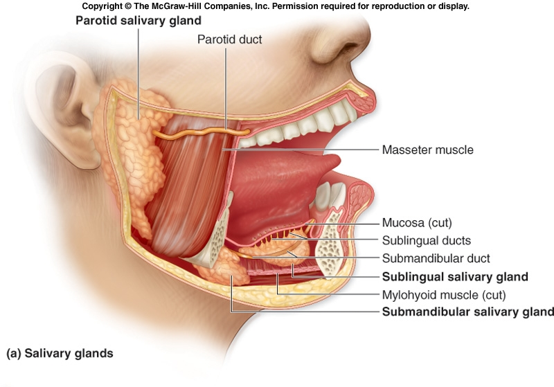 Mouth Saliva Glands Diagram - House Wiring Diagram Symbols •