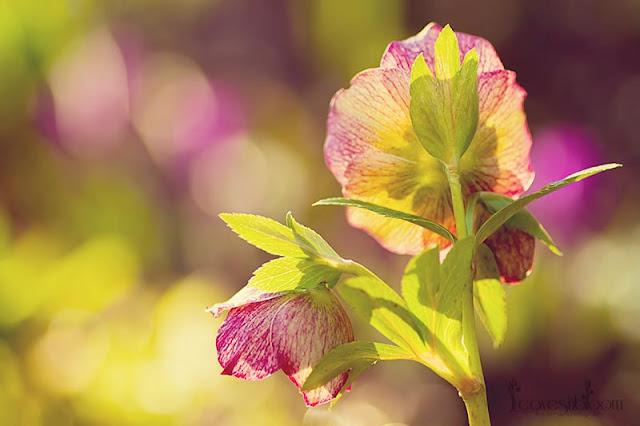 Hellebore orientalis 'Picotee'