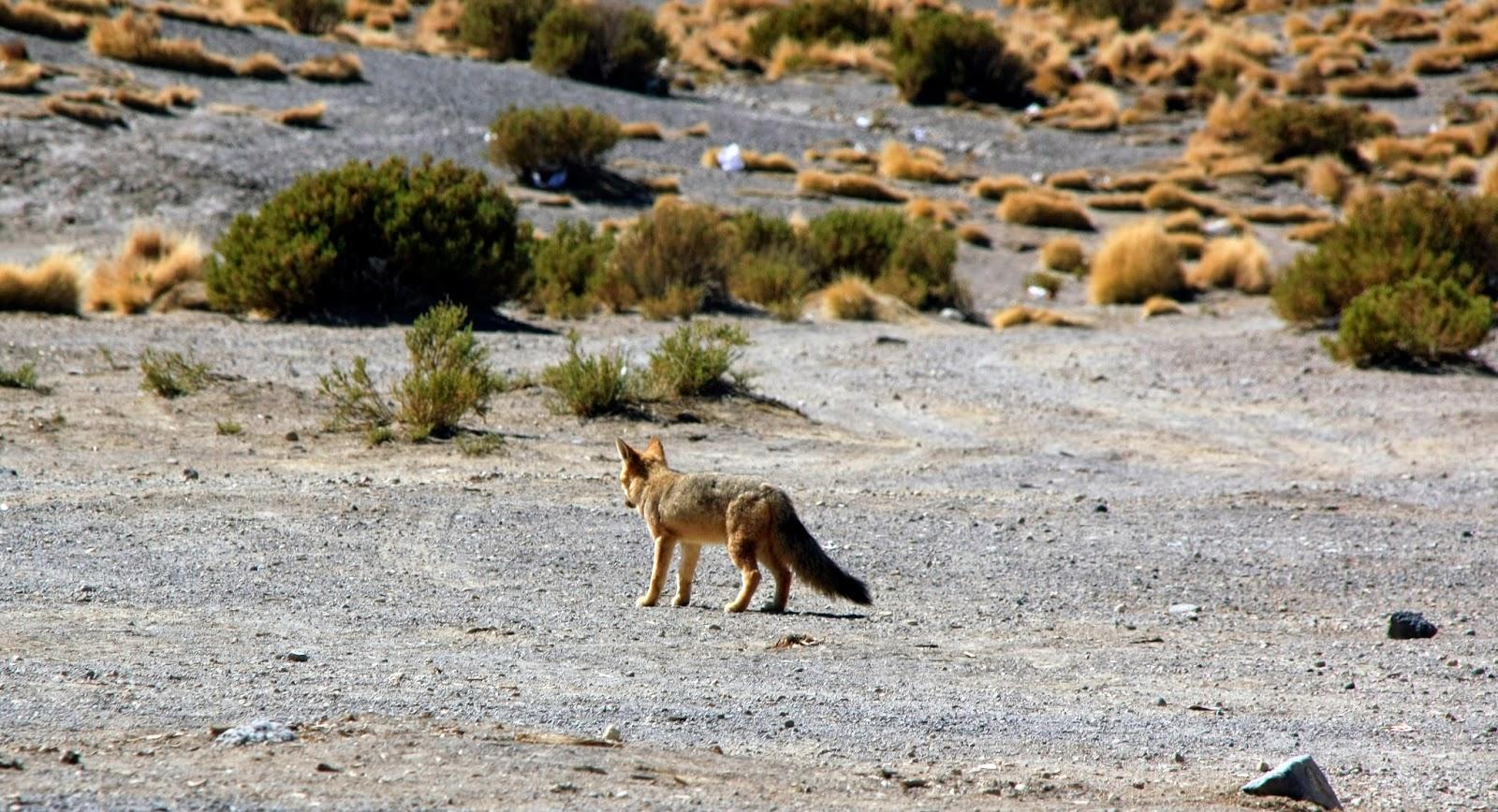 Coyote en el altiplano boliviano