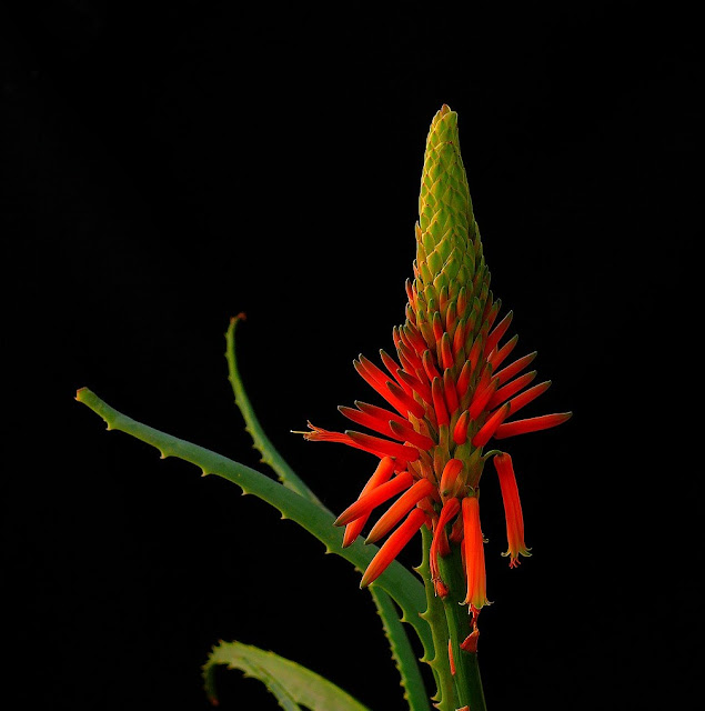 aloes flower wallpaper