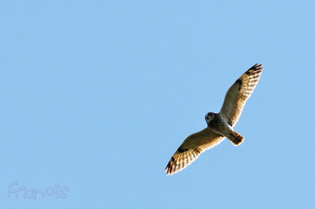Búho campestre (Asio flammeus) Short-eared Owl