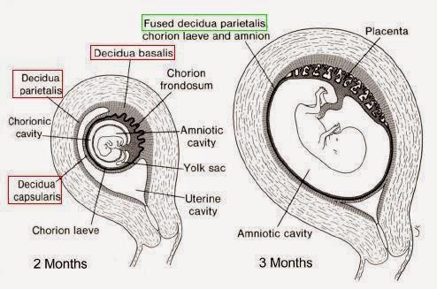 Placenta   Mastering Embryology