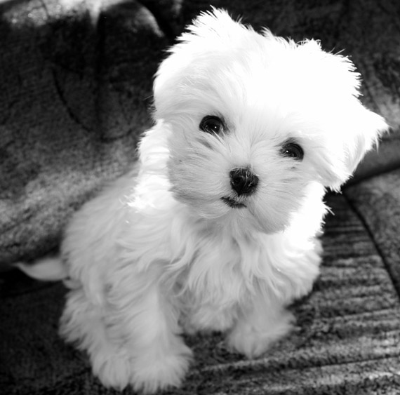 Bichon Maltese - apartment dog
