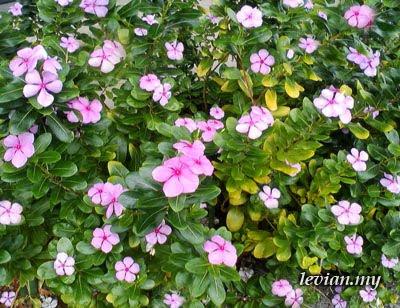 Flower (SE f100i)