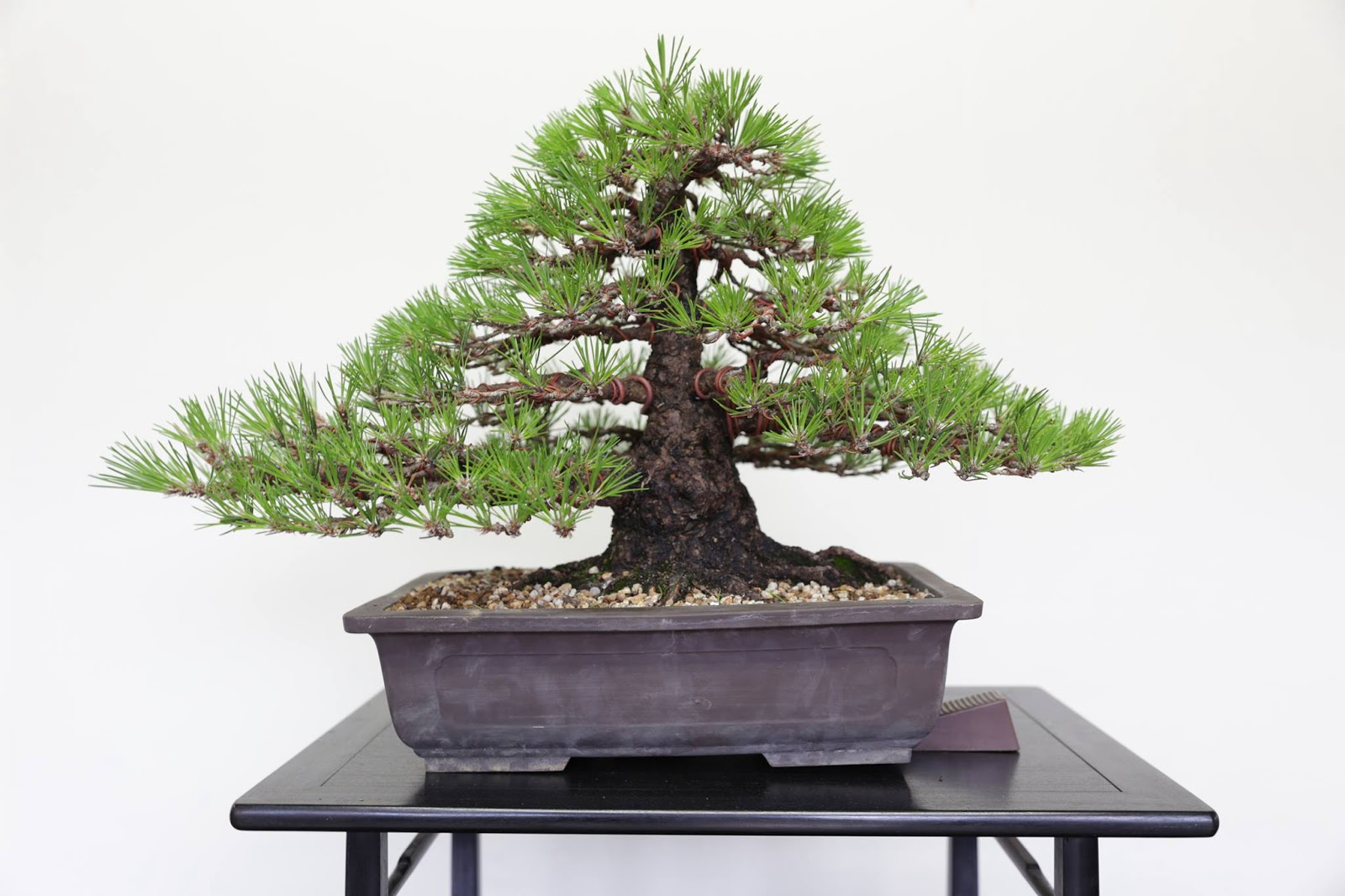 Invitation To Bonsai World Wiring On The Coolest Black Pine