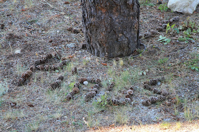 Pinus Spelled with Pinecones
