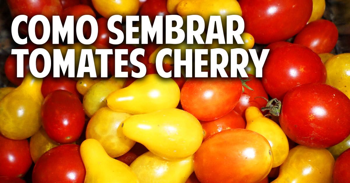 Paso a paso y para principiantes como sembrar tomate cherry - Tomates cherry en maceta ...