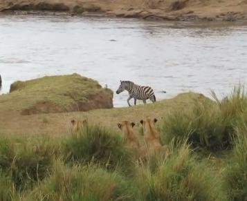 Zebra escapa de emboscada de leões no último segundo
