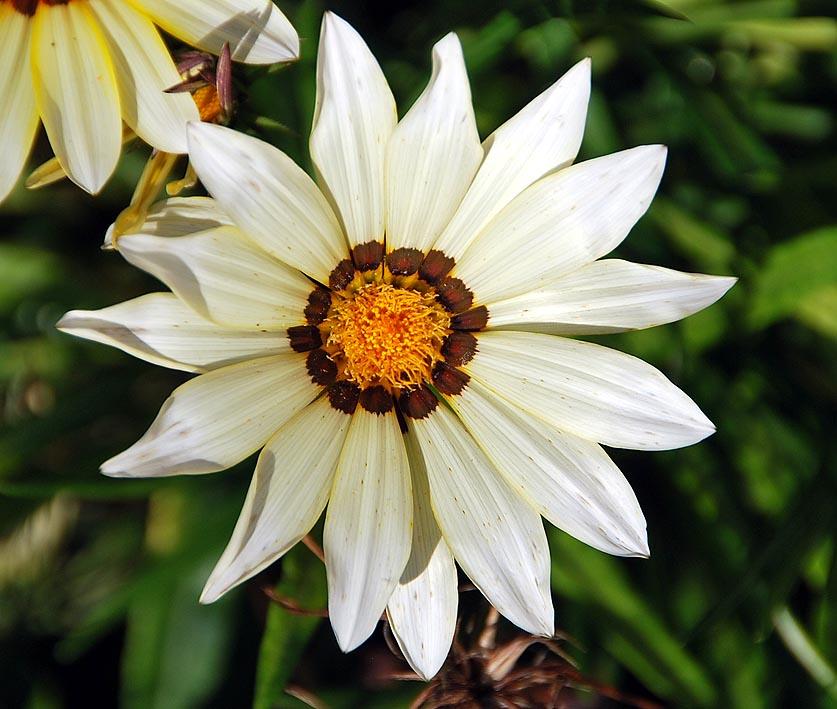 Nombre de flores comunes pictures to pin on pinterest for Nombres d plantas ornamentales