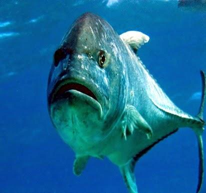 rahasia umpan, Macam-macam Teknik Mancing, tips untuk mancing ikan, Ikan Cakal,Giant Trevally, Umpan Ikan Cakal,