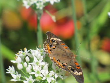 Buckeye Butterfly on Garlic Chives Blossom