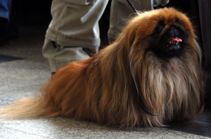 Pekingese Dog Breed