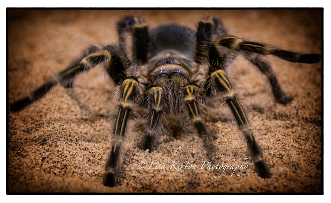 Too Close Tarantula
