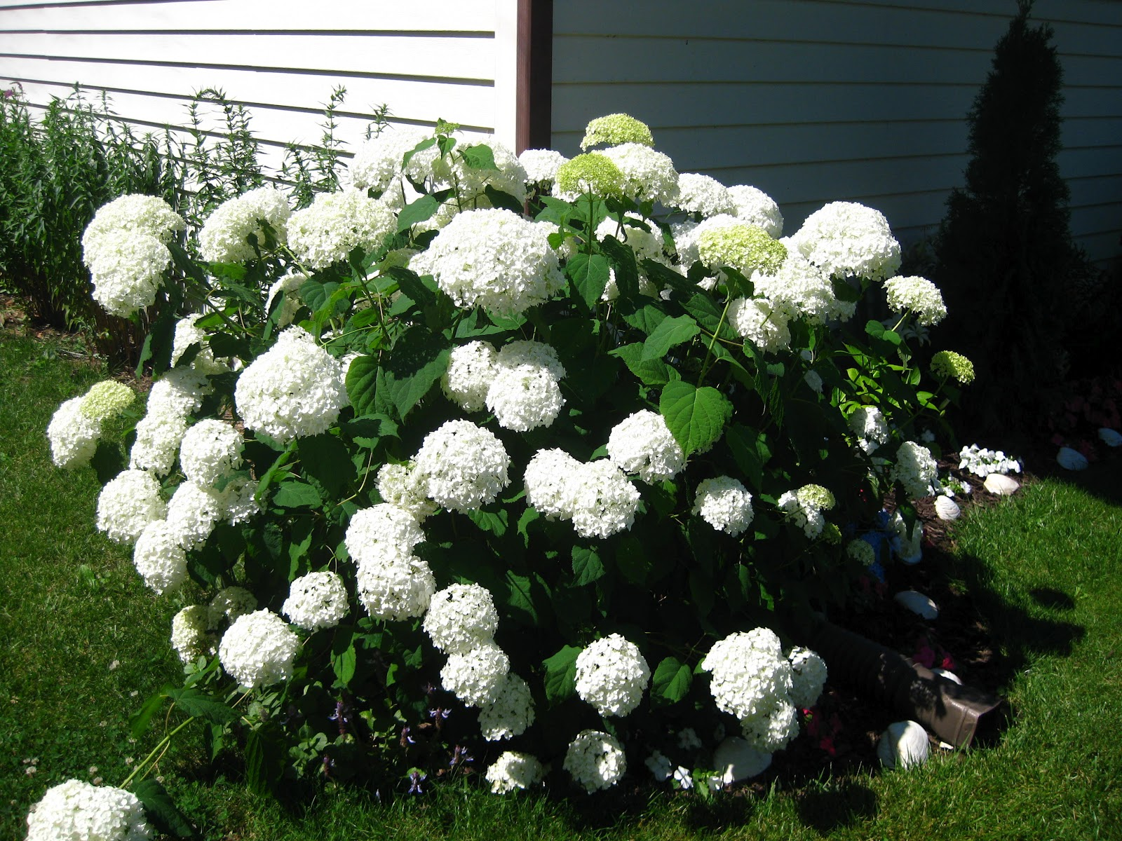 Who plants a seed july 2012 for Annabelle hydrangea