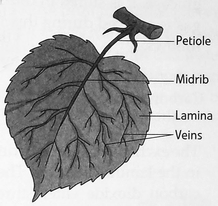 Sciencedpskamal notes gr5 getting to know plants the flat green part of a leaf is known as the leaf blade or lamina it is attached to the stem by means of a short stalk called the petiole ccuart Image collections