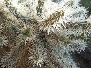 espinas del cactus Cylindropuntia tunicata