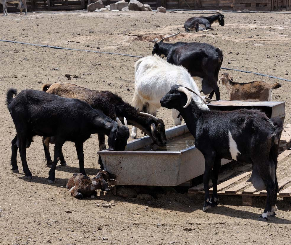 goat farming, goat farming in India, goat farming business, commercial goat farming, commercial goat farming business, commercial goat farming business in India