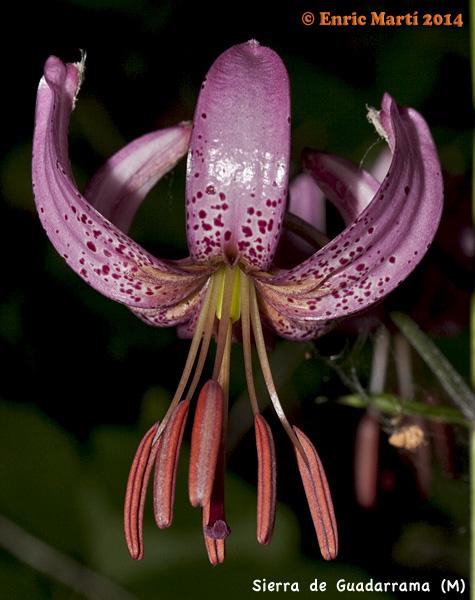 fotos de lilium Cuidar de tus plantas es facilisimo com - Imagenes De Flores Lilium