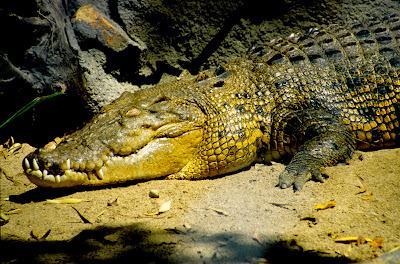 sundarban crocodile