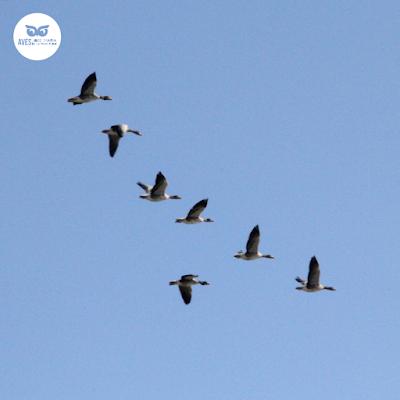 Ánsares comunes (Anser anser) durante la migración.