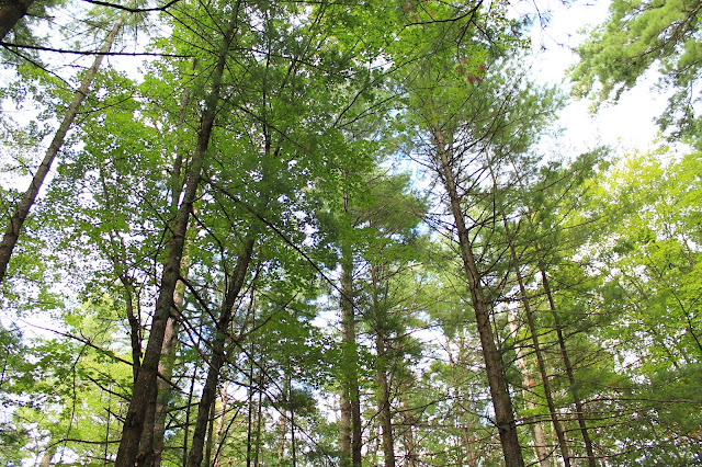 tall trees [bon echo]