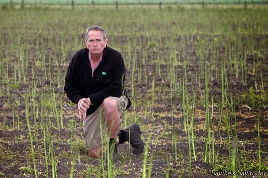 Lindsay Kay, chairman, Hawke's Bay Asparagus Growers Association, Hawke's Bay representative to the New Zealand Asparagus Council, pictured with some of his crop at Pakipaki, near Hastings. photograph