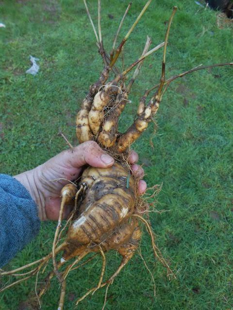 Mauka root, Mirabilis expansa