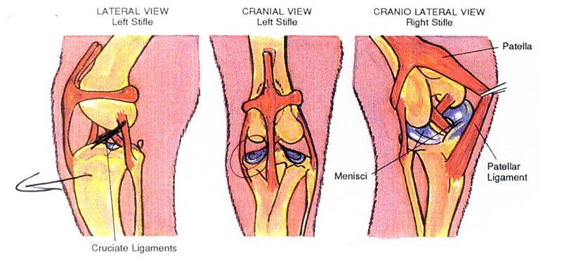 PSICOLMASCOT: Rotura de ligamentos en un perro necesita la ...