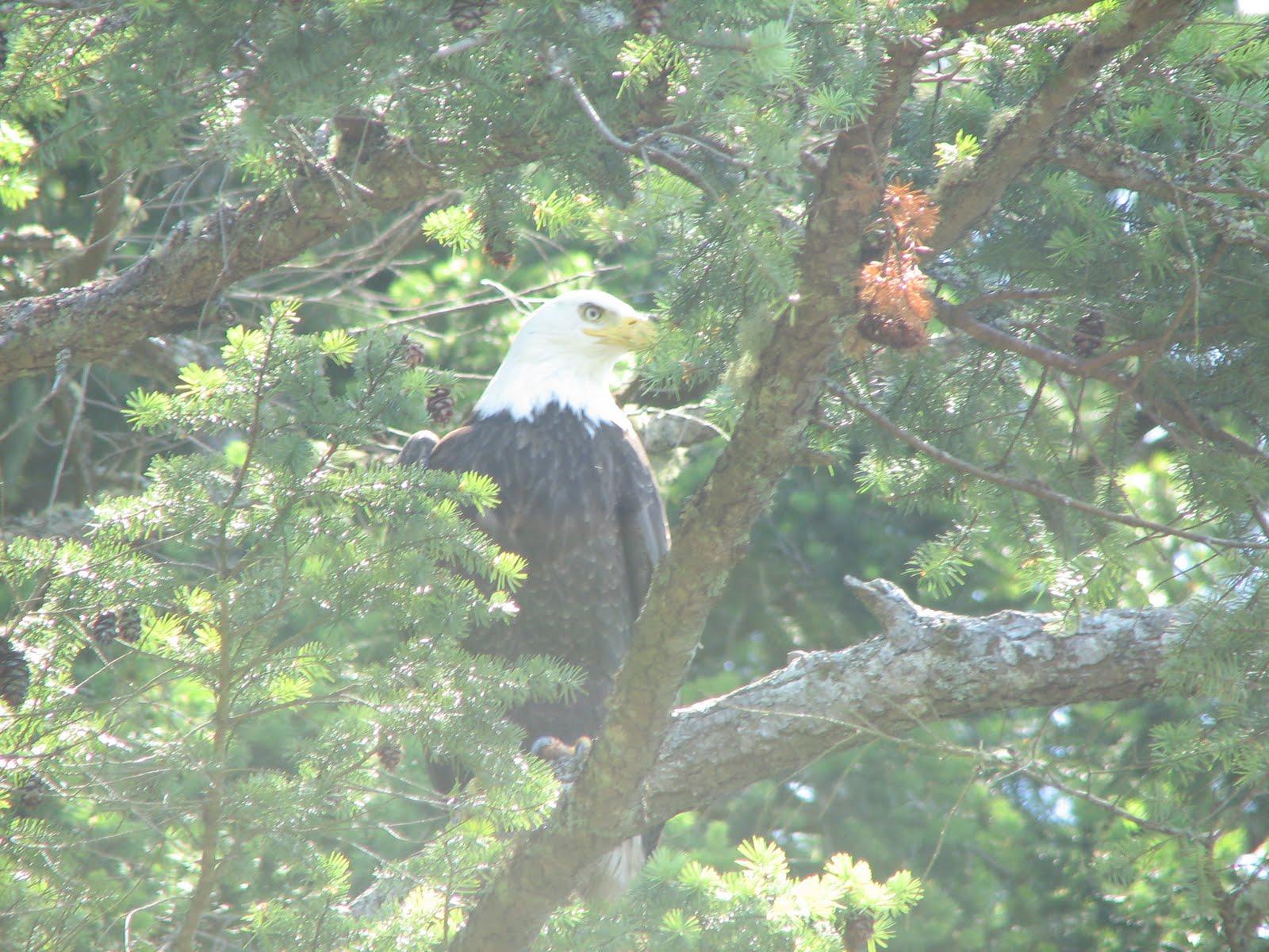 Bald eagle habitat photos from washingtonlife insuranc - Bold habitat ...