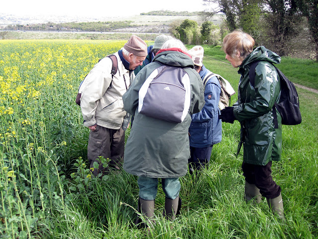 The group in a huddle next to a Charlock, Sinapis arvensis, at the edge of a field of Rape, Brassica napus.  Nashenden Down Nature Reserve, 14 April 2012.