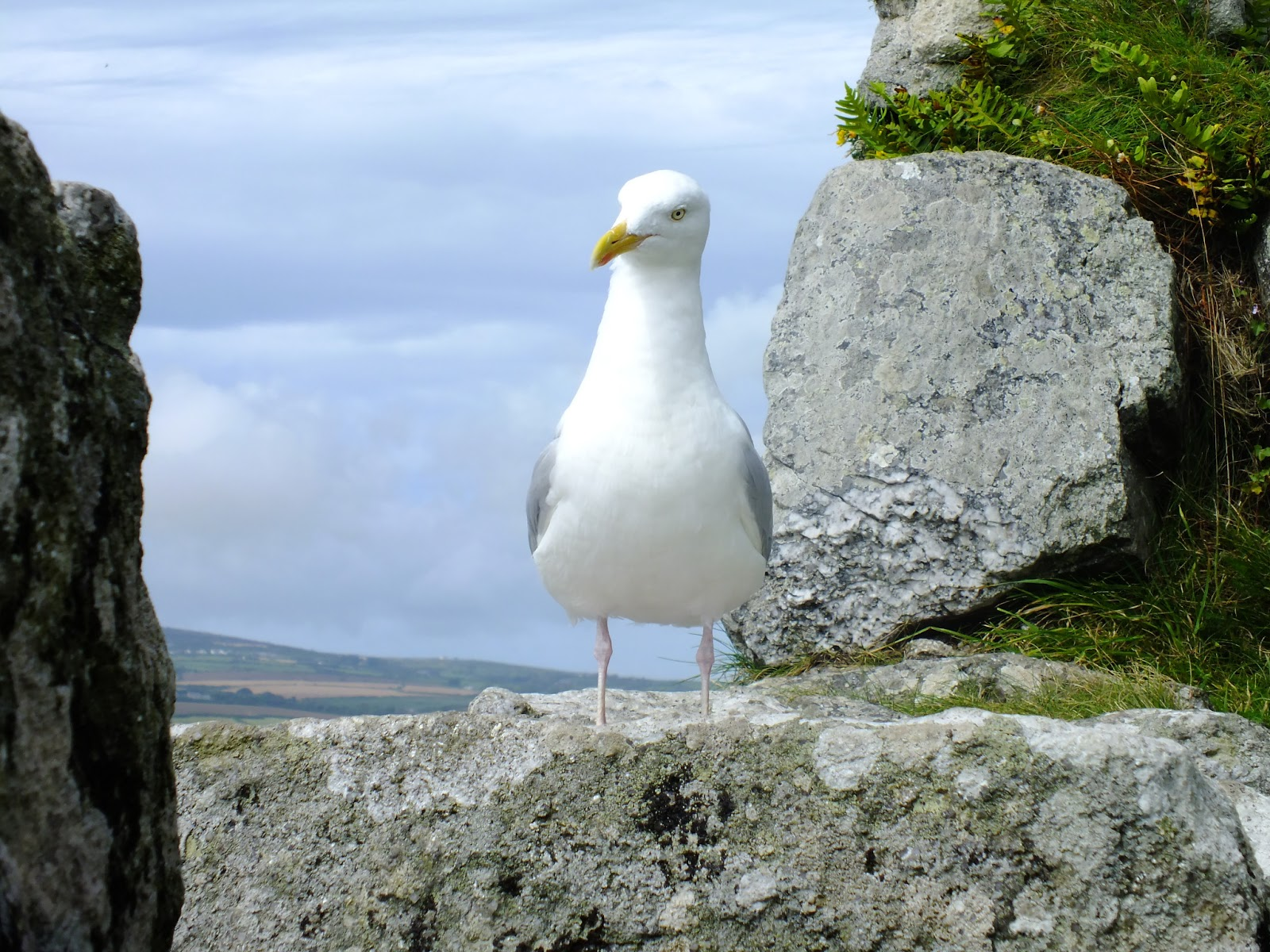 albatros duża mewa