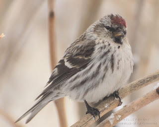 Copper-topped Common Redpoll. photo  © Shelley Banks, all rights reserved.