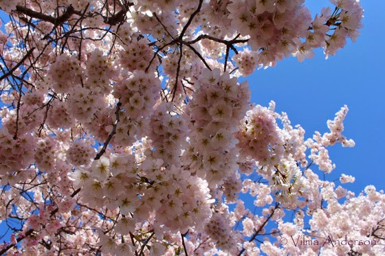A bunch of Cherry Blossoms in a tree