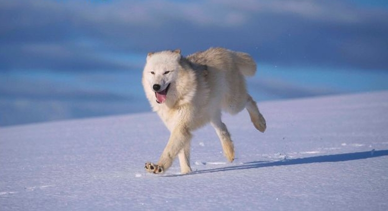 Arctic wolf running