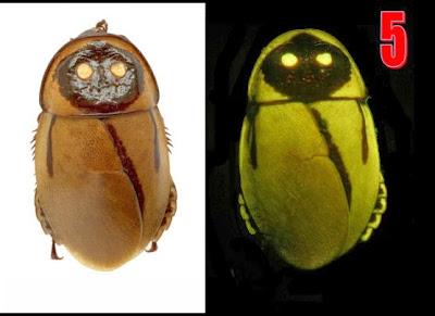 صرصور,يتوهج,ضوء,ظلام,حشرات,بكتريا,فلورسنت,Luchihormetica luckae,2013