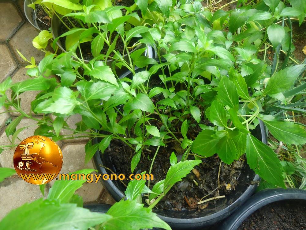 Cara memelihara tanaman kumis Kucing di dalam pot.