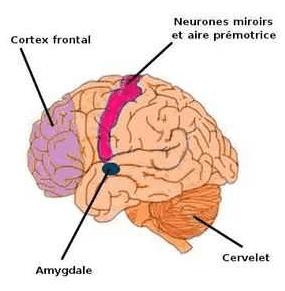 موقع وجود الخلايا المرآة في الدماغ البشري