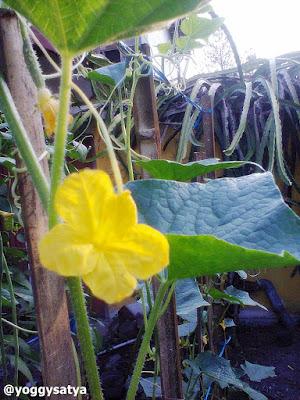 Bunga Mentimun