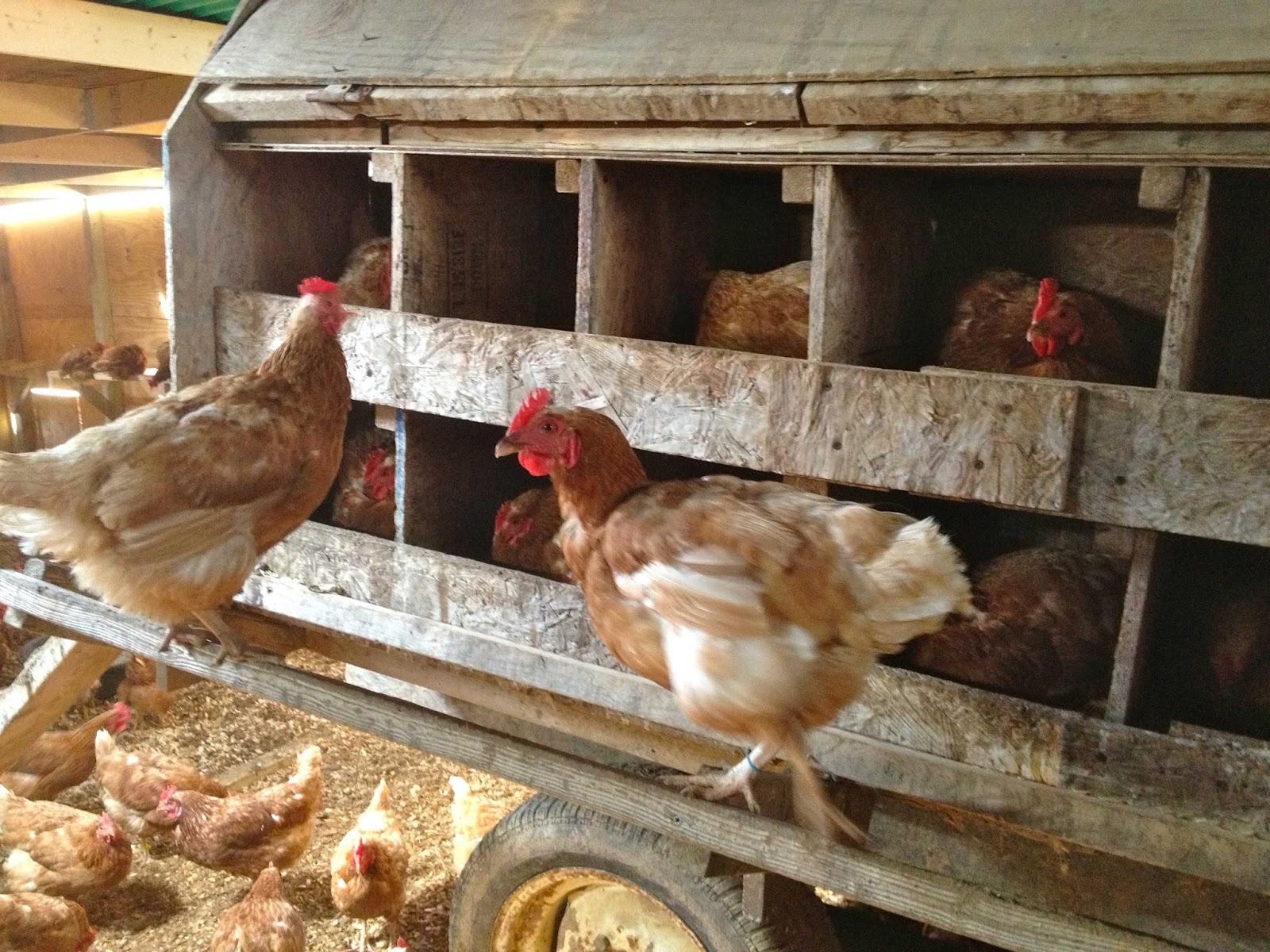 Как выращивать кур-несушек 45