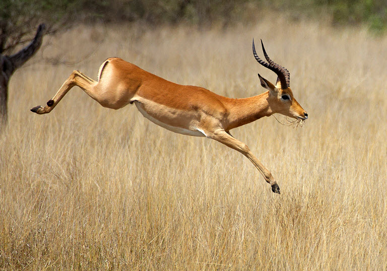 Animal You: Impala