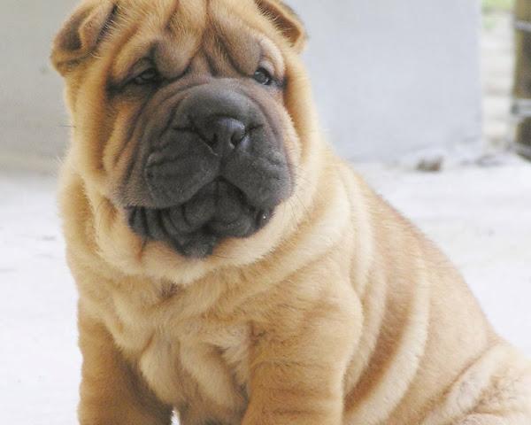 C�mo cuidar a un perro Shar pei americano