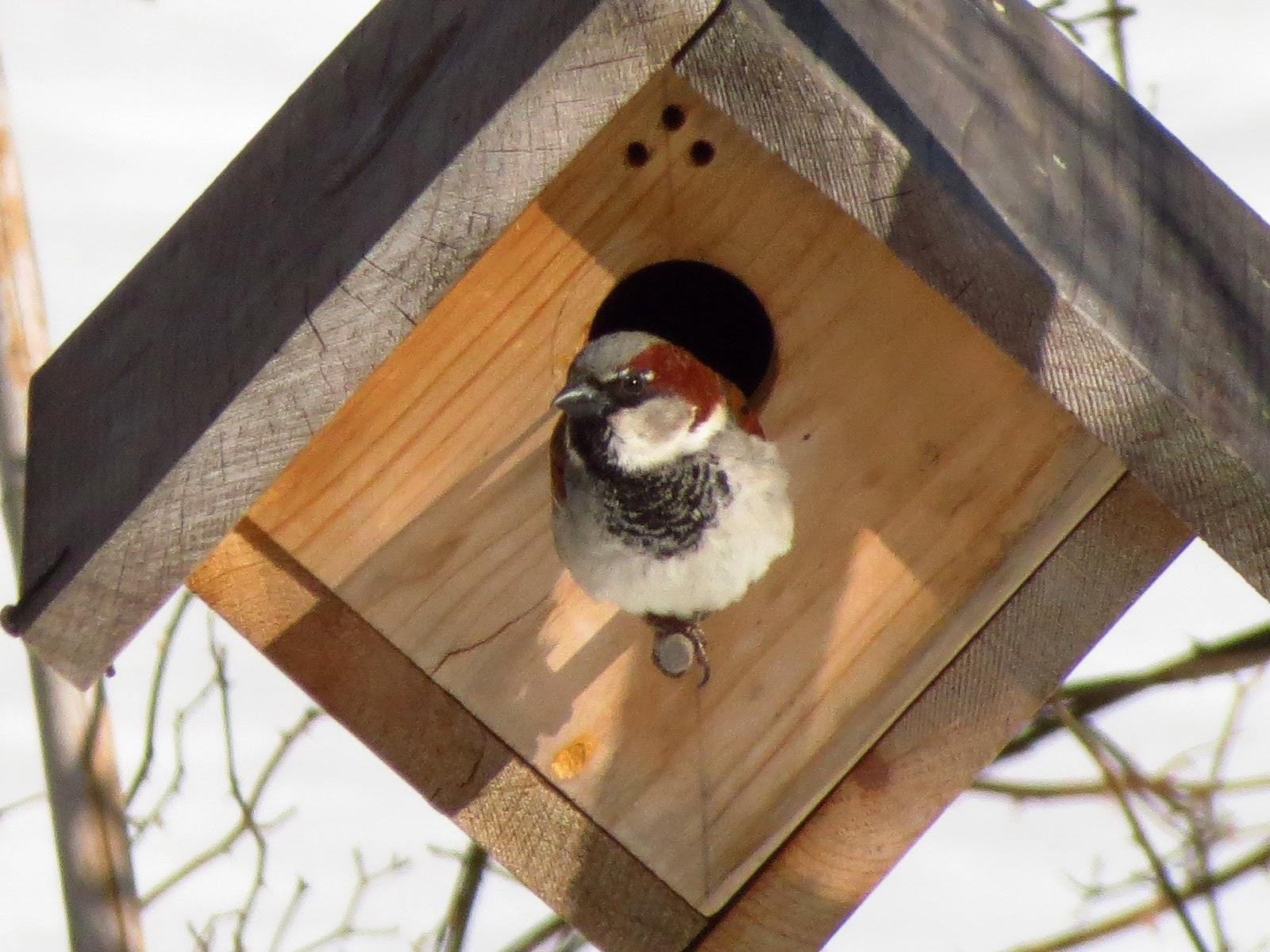 house sparrow on bird house