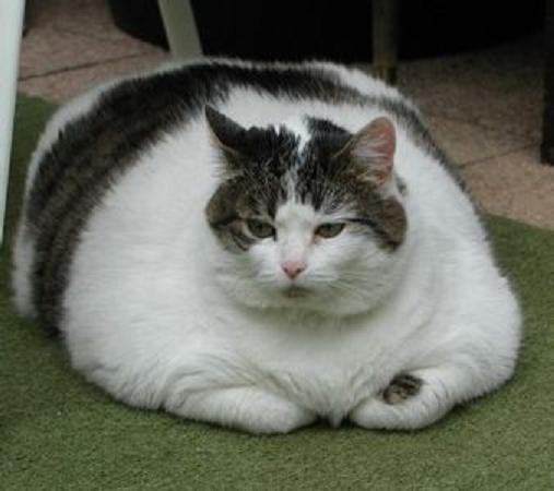 hilarious pictures of fat cats - photo #3