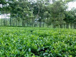 Wisata Kebun Teh Wonosari, www.kebuntehwonosari.blogspot.com, info: 0341582032
