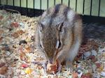 mein kleines Streifenhörnchen