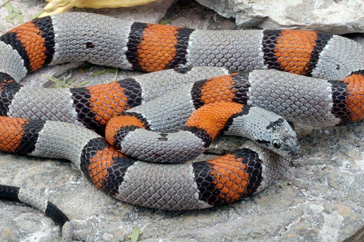 gray banded king snake